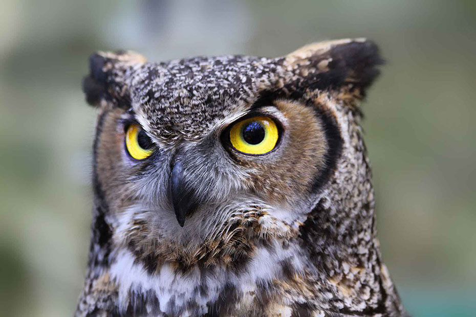 This picture of a serious, intelligent looking owl illustrates the subject Did you know... Do you understand?, in editoriallapaz, events, facts and truths not commonly known by most people.